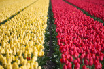 Tulip fields outside Keukenhof
