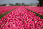 Pink tulip field outside Amsterdam