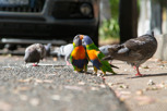 Rainbow lorikeets and doves at Surry Hills, Sydney