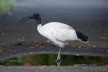 The Australian white ibis at Royal Botanic Gardens, Sydney