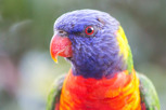 Rainbow lorikeet at Royal Botanic Gardens, Sydney