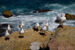 Seagulls at Bondi Beach, Sydney