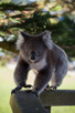 Koala in the city of Port Campbell, Victoria