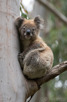 Koala in Great Otway National Park, Victoria