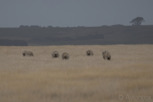 Grazing sheep, Victoria