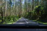 Black Spur Drive with spectacular tall forest, Victoria