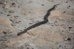 Tiger snake, Kangaroo Island