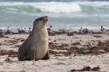 Australian sea lion at Seal Bay, Kangaroo Island