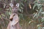 Kangaroo, Kangaroo Island