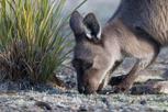 Kangaroo in Flinders Chase National Park, Kangaroo Island