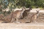 Kangaroos, Kangaroo Island