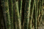 Bamboo at Royal Botanic Garden, Adelaide