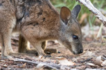 Wallaby in Flinders Chase National Park, Kangaroo Island