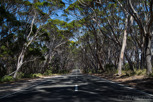 Tree alley along the main road, Kangaroo Island