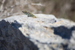 The filfola lizard or in other words Maltese wall lizard, Gozo