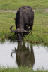 Buffalo drinking in Chobe National Park