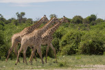 Three giraffes stroll in Chobe National Park