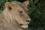 Female lion in the shadow at Chobe National Park