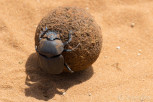 A dung beetle in Chobe National Park