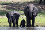 Three generation elephants drinking water at Chobe River