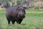 Hippopotamus grazes along Chobe River