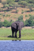 Elephant by Chobe River