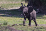 Elephant calf in Chobe National Park