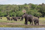 Elephants along Chobe River