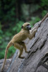 Baby baboon in Victoria Falls National Park