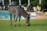 Zebra grazes in the gardens of the Royal Livingstone Hotel