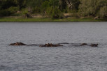 Hippos in Zambezi River