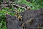 Baboons at the Zambian side of Victoria Falls National Park