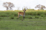 Antelope male in Chobe National Park