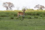 Antelope male in Chobe National Park