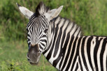 Zebra in Mlilwane Wildlife Sanctuary