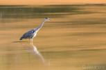 Hunting heron, Mlilwane Wildlife Sanctuary