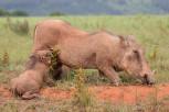 Suckling warthog piglets,
