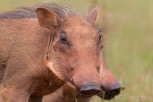 Warthog piglets, Mlilwane Wildlife Sanctuary