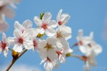 Cherry blossom in Kyu Shiba Rikyu Garden, Tokyo