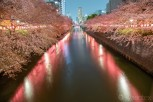 Cherry blossoms at Meguro River, Tokyo