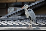 A heron on the roofs of Gion, Kyoto