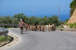 Domestic cattle on the main road