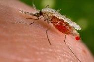 Den dödliga malariamyggan