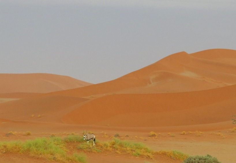 En Oryx antilop betar i gräset