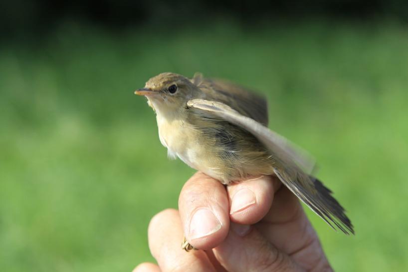 En av de fåglar som fick en ring runt sitt ben