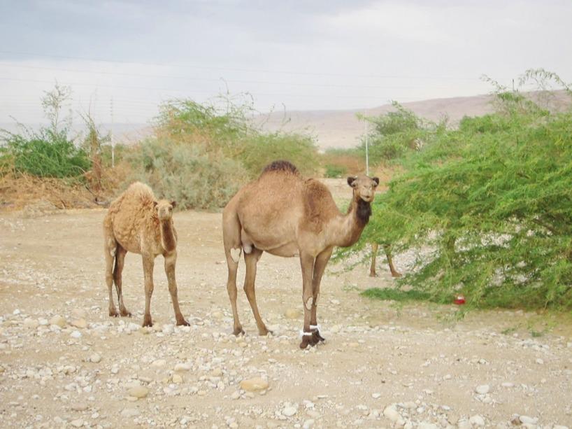 Vi passerade massvis av kamel och för Sussie var det första gången hon såg en liv levande kamel! Så häftiga djur!