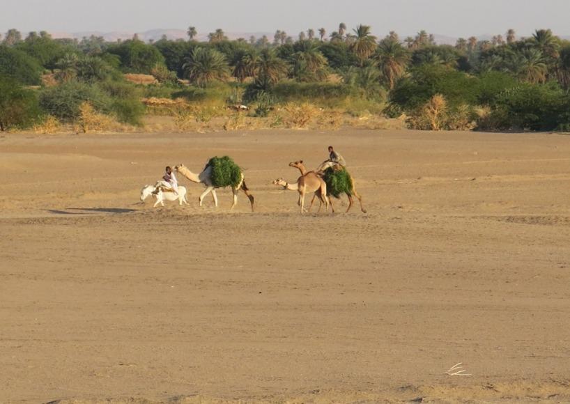 Ännu fler kameler. Vi kan inte få nog av detta ökendjur!