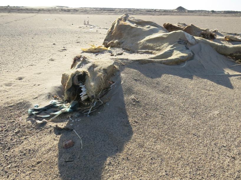 Dock var detta en vanlig bild under en sträcka vid nilen. Vi vet dock inte varför flera hundra kameler låg överallt omkring??