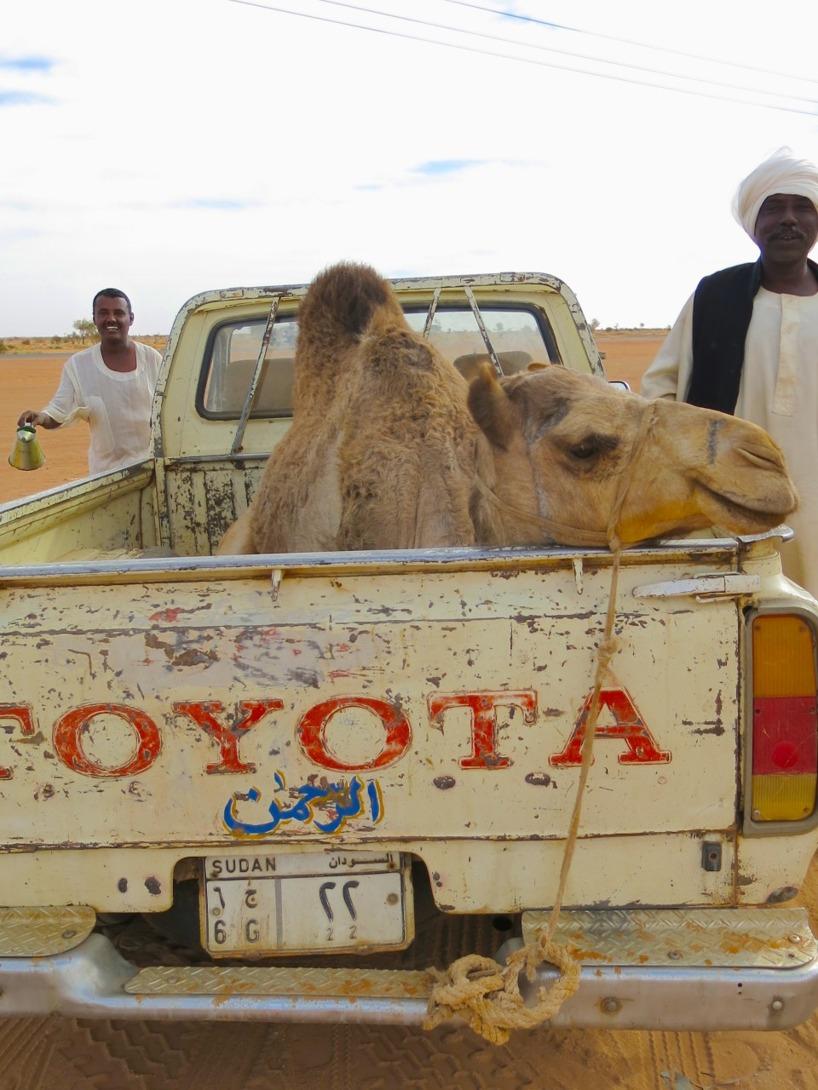 Pick-up passerade oss stup i kvarten med en kamel på flaket.. helt normalt!