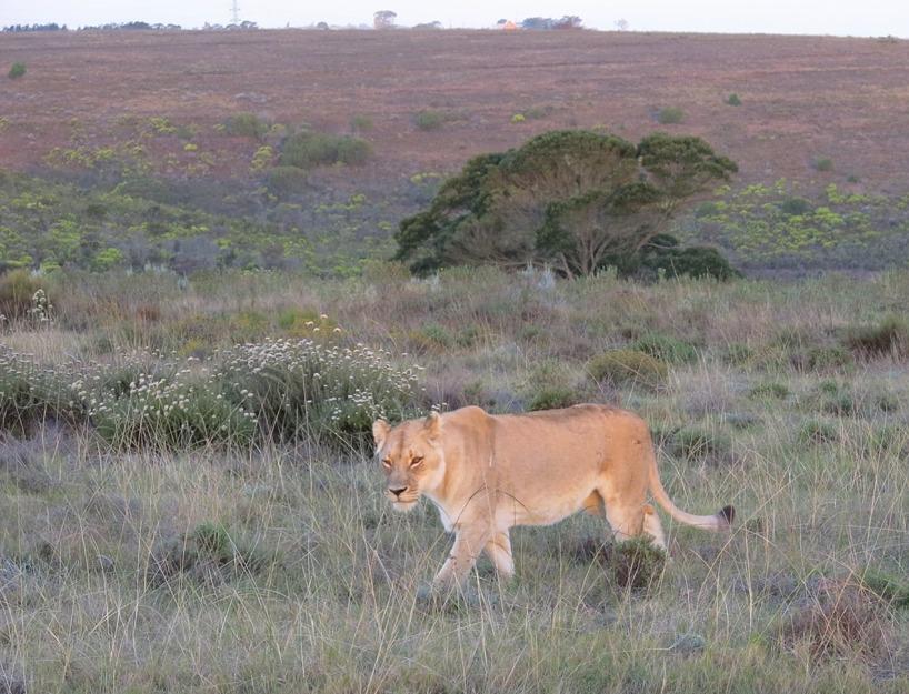 Lejonen är lika mäktiga varje gång att skåda!